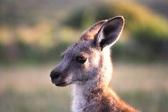 Australië. Het voorgebergte van Wilsons. Kangoeroe Stock Afbeeldingen