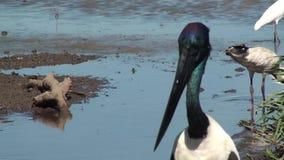 Australië, krokodillerivier, het nationale park van Kakadu, zwarte necked ooievaar, ephippiorhynchusasiaticus stock footage
