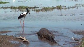 Australië, krokodillerivier, het nationale park van Kakadu, zwarte necked ooievaar, ephippiorhynchusasiaticus, alligator, ibis, r stock videobeelden