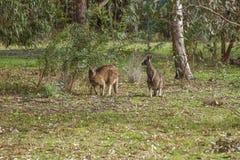 Australië - Victoria - het nationale park van Grampians - Paar van zuidelijk Stock Foto