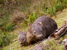Australië: wombatmoeder en baby Stock Fotografie