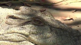 Australia, aligator rzeka, kakadu, aligator odpoczywa na banku zbiory wideo
