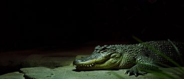 Crocodile display in zoo royalty free stock photography