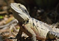 Australia also has a wonderful iguana, a living creature of the lizard, a reptile. Everyone should see this scene once in your life, the colorful life there is Royalty Free Stock Photos