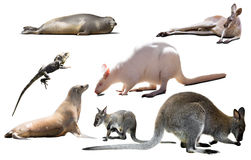 Australia animals isolated. Set of various isolated wild animals including birds, mammals, reptiles from Australia Royalty Free Stock Photos