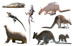 Australia animals isolated. Set of various isolated wild animals including birds, mammals, reptiles from Australia Stock Photos