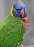 australia australijska lorikeet Queensland tęcza Zdjęcie Stock