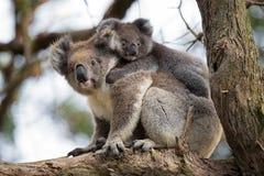 Australia Baby Koala Bear and mom. Stock Image