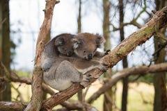 Australia Baby Koala Bear and mom. Stock Photography