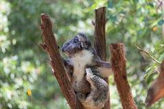 Australia Baby Koala Bear and mom. Stock Photo