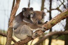 Australia Baby Koala Bear and mom. Royalty Free Stock Images