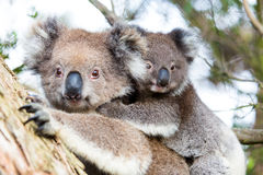 Australia Baby Koala Bear and mom sitting on a  tree Stock Photos