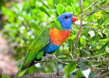 Australia beautiful  lorikeets on branch Stock Photos