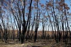 Australia bush fire: burnt eucalypt forest Stock Photography