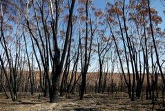 Australia bush fire: burnt eucalypt forest stock photography
