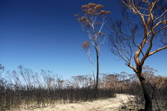 Australia bush fire: burnt eucalyptus trees Royalty Free Stock Photo