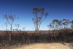 Australia bush fire: burnt eucalyptus trees h Stock Photo