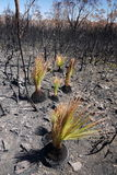Australia bush fire: burnt grass trees regenerating Royalty Free Stock Photos
