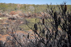 Australia bush fire: burnt hillside with banksia seedpods Stock Photo