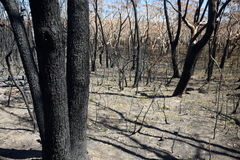 Australia bush fire: burnt trunks Royalty Free Stock Photos