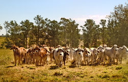 Australia cattle ranch Australian brahma beef cows. Australian brahman beef cattle line, red cows, grey cow, live animals on ranch Stock Photography