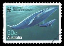 AUSTRALIA - Postage stamp. AUSTRALIA - CIRCA 2006: A stamp printed in Australia shows Blue Whale - Balaenoptera musculus, circa 2006 royalty free stock photos