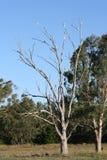Australia Cockatoo Parrot bird. Australian Sulphur Crested Cockatoo birds roosting on a dead gum tree Royalty Free Stock Photo