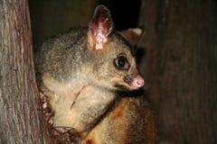 Australia common brushtail possum. At night Stock Photos