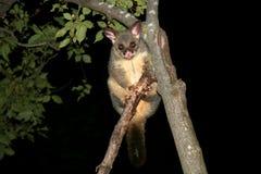 Australia common brushtail possum. At night Royalty Free Stock Photo