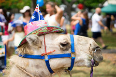 Australia Day Camel. A camel decorated with the Australian flag during the celebration of Australia Day held in Gold coast in Australia Royalty Free Stock Photo