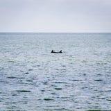 australia delfinów żebro Melbourne obok Obraz Royalty Free