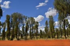 Australia, NT, Rainbow Valley, Botany. Australia, desert oak trees in Rainbow valley national park in Northern Territory Royalty Free Stock Photo