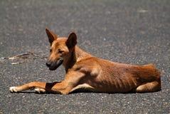 Australia, Dingo stock photos