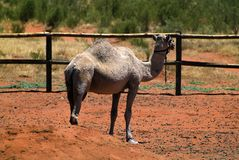 Australia, Zoology. Australia, dromedary in camel station Stock Photography