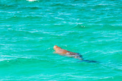Australia dugong while swimming on sea surface Royalty Free Stock Photos