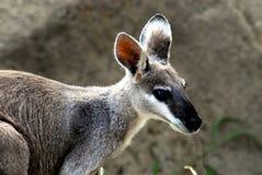 Australia ekstremum Zamknięty W górę Ślicznego Dzikiego Wallaby obraz stock