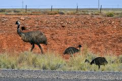 Australia, Zoology, Emu. Australia, emu with young chicks Royalty Free Stock Images