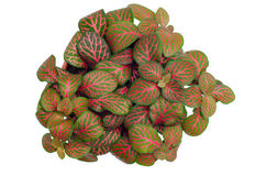 Australia Episcia Royalty Free Stock Image