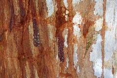 Australia: eucalyptus tree bark texture Stock Image