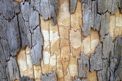 Australia: eucalyptus tree grey brown bark texture Royalty Free Stock Photography