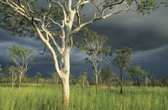 Australia Eucalyptus trees in field Stock Photo