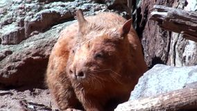 Australia, excursion in the outback, wombat stock footage