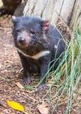 Tasmanian Devil, Featherdale Wildlife Park, NSW, Australia. DOONSIDE, NSW/AUSTRALIA - NOV 2, 2015: Tasmanian Devil (Sarcophilus harrisii) sitting at Featherdale Stock Photos