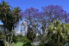 Australia, NSW, Sydney, Royal Botanic Garden. Australia, flowering jacaranda tree and palms in public Royal Botanical Garden in Sydney Stock Photos