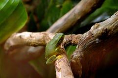 Australia frog Stock Image