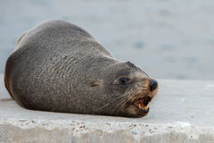 Australia Fur seal close up portrait while growling Royalty Free Stock Photos