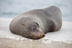 Australia Fur seal close up portrait while relaxing Stock Photos