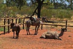Australia, granja del camello Imagenes de archivo