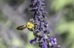 Australia Great Carpenter Bee Royalty Free Stock Photography