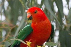Australia, Great Ocean Road, Parrot. Beautiful parrot in Kennett River at the Great Ocean Road Royalty Free Stock Photography